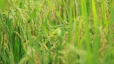 Paddy Field View 04 — Stock Video