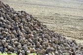 Mucchio di barbabietola da zucchero in campo dopo il raccolto — Foto Stock