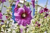 Hollyhock in an empty street in a village on Ile d'AIx of France — Stock Photo
