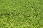 Green field with low deep focus — Stock Photo