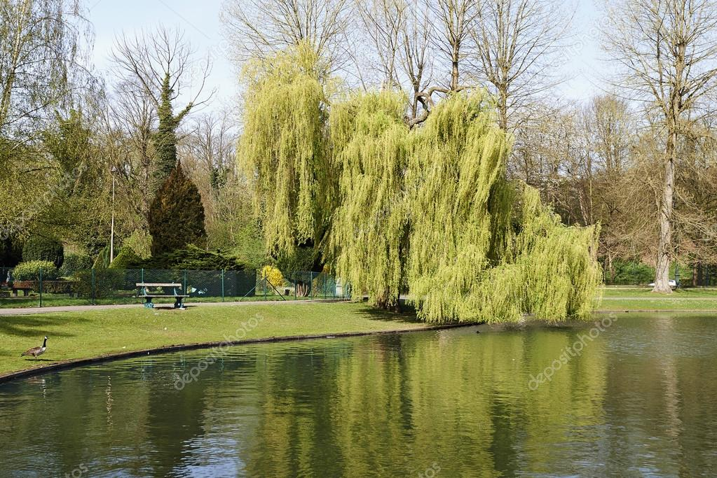 Under the weeping willow tree � Stock Photo � Bombaert #70913561