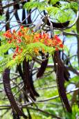 Flamboyant branch with flowers and pods — Stock Photo