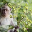 Long tailed macaque monkeys baby — Stock Photo #78269328