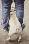 Pug between legs — Stock Photo