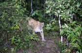 Wild cougar in the tropical forest — Stock Photo