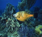 Photo, tropical Trigger fish — Stock Photo