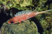 Sabel squirrelfish — Stockfoto