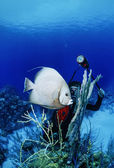 Diver is photographing an Angel fish — ストック写真