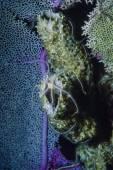 Caribbean Sea, Belize Crinoid — Stock Photo