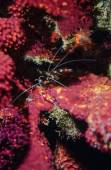 Coral Banded Shrimp — Stockfoto