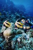 Masked Butterflyfish and diver — Stock Photo