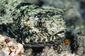 Reef Lizardfish — Stock Photo