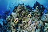 Masked Butterflyfish and divers — Stock Photo