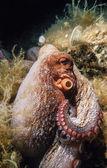 Octopus in  Adriatic Sea — Foto Stock