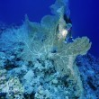 Постер, плакат: Tropical Sea Fan and a diver