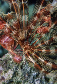 Crinoid on hard coral — Stock Photo