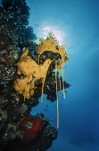 Yellow sponges in the reproduction season — Stock Photo