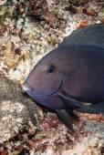 Surgeonfish — Stock Photo