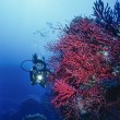 Постер, плакат: Diver and red gorgonians