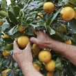 Sicilian oranges harvest — Stock Photo #58492951