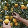 Sicilian oranges harvest — Stock Photo #58493085