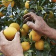 Sicilian oranges harvest — Stock Photo #58493091