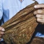 Cuban tobacco preparation — Stock Photo #62243901