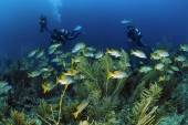 Divers and school of tropical grunts — Stok fotoğraf