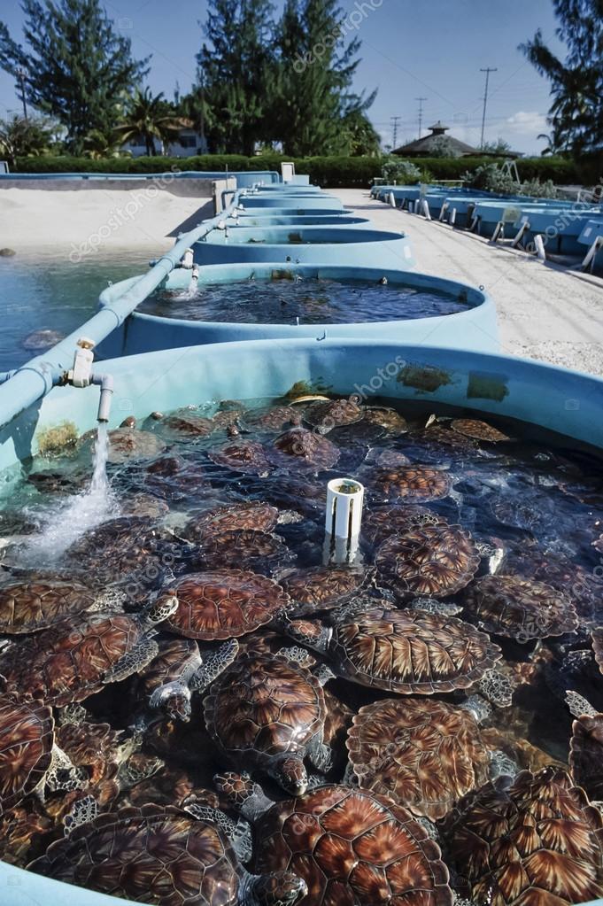 Tartarughe di mare in un allevamento di tartarughe foto for Tartarughe di mare domestiche