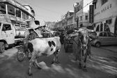 Indian people and a cow at the Uttar Pradesh market — Stock Photo