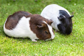 Brown and white Guinea pig eat green grass — Stock Photo