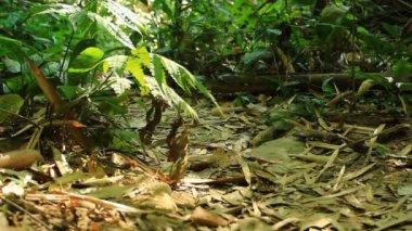 Birdwatcher walking in rain forest — Stock Video