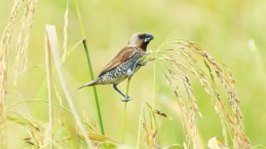 Spotted munia bird in the paddy field — Stock Video