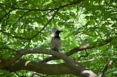 Dun crow - corvus (corone) cornix - sitting in a tree on a pearch — Stock Photo
