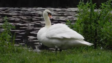 Mute swan in preening on the water's edge in the early morning — Stock Video