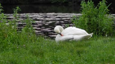 Mute swan in preening on the water's edge - with loud birdsongs in the background — Stock Video