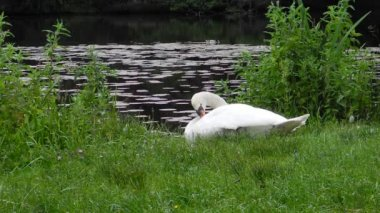 Mute swan in preening on the water's edge in the urban environment — Stock Video