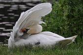 Beautiful mute swan (cygnus olor) in preening sitting on the waters edge — Stock Photo