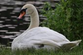 Mute swan (cygnus olor) sitting on the waters edge in the early morning — Stock Photo