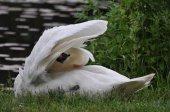 Mute swan in preening sitting on the waters edge — Stock Photo