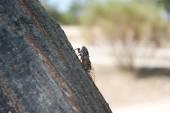 Cicada - (Cicadidae) - left side - sitting on a tree bark — Stock Photo