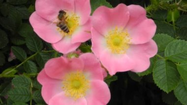 Three pink flowers (rosa canina) and a hardworking bee at work - traffic noise in the background — Stock Video