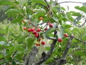 In a cherry tree with ripe and unripe fruits - during the summer beginning — Stock Photo
