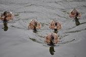 Five ducks (Anas platyrhynchos) — Stock Photo