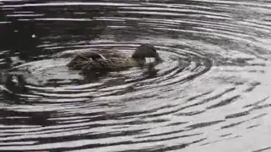 Female mallard duck (anas platyrhynchos) preening - on a natural water — Stock Video