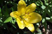 Pretty yellow lily (Lilium) — Stock Photo