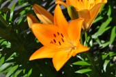 Lily of orange color (Lilium) — Stock Photo