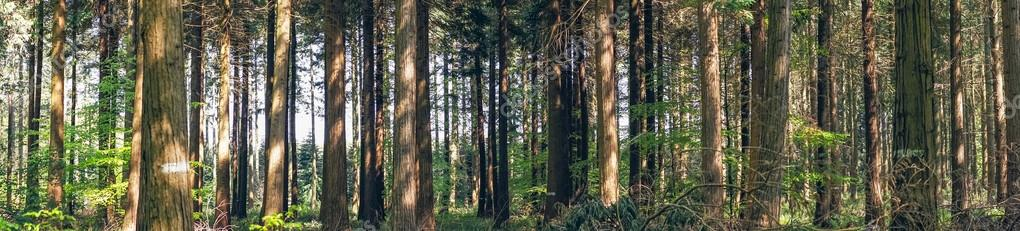 Фотообои Pine trees in a forest panorama landscape
