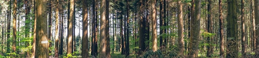 Фотообои Сосновые деревья в лесу пейзаж