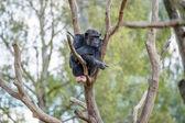 Chimpanzee in a tree — Stock Photo